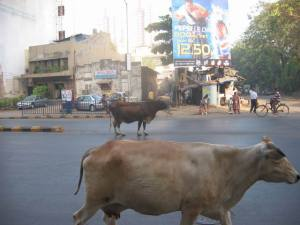 Cows navigating the streets of Bombay